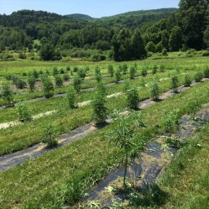 Bravo Botanicals VT hemp field